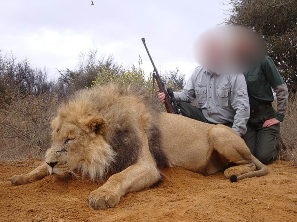 african lion hunting safari